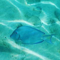Curaao Blue (Luiz C. Salama) Tags: curaao curaau antilhas antilles caribe caribbean sea mar underwater submarina submerso scubadiving scuba diving dive mergulho mergulhar azul blue gua debaixodgua animal aoarlivre nature natureza