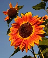 Still..... (peeteninge) Tags: sunflower zonnebloem flowers flora bloemen geel yellow brown bruin blue blauw bluesky blauwelucht nature natuur outdoor buiten tuin garden