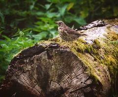 """""""Poser""""  Song Thrush - turdus philomelos   Canon 700D  EF-S 55-250mm IS STM   250mm  f8  1/125  ISO 3200 (Martin Donohue) Tags: ifttt instagram mdonohue95 poser  song thrush turdus philomelos  canon 700d efs 55250mm is stm  250mm f8 1125 iso 3200"""