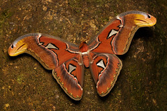 Attacus atlas [Atlas Moth] (kkchome) Tags: attacus atlas moth insect nature fauna wildlife invertebrates asia malaysia selangor semenyih