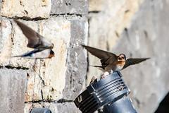 (Un) Welcome Swallow (vjpaul) Tags: newzealand birds northcanterbury pegasus southisland swallow spring vjpaul geocountry camera:make=canon geocity geostate geolocation exif:focallength=400mm exif:model=canoneos5dmarkiii exif:isospeed=200 exif:aperture=56 camera:model=canoneos5dmarkiii exif:lens=ef100400mmf4556lisusm exif:make=canon