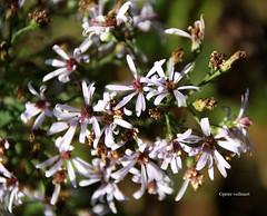 8-IMG_5876 (hemingwayfoto) Tags: aster astercordifolius berggartenhannover blhen blte blau blauewaldaster blume garten natur nordamerika park pflanze waldaster