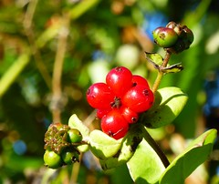 Honeysuckle Berries (The3Winds) Tags: honeysuckle berries
