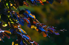 Blue sheen (Steve-h) Tags: nature natur natura naturaleza trees leaves backlight backlighting contrajour contraluz copperbeech blue sheen red orange yellow gold green twigs bokeh happybokehwednesday dublin ireland europe autumn fall september 2015 ef eos canon camera lens digital exposure day daylight dark background steveh