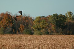 Geese in Flight 1 (Emily K P) Tags: horicon marsh bird nature wildlife animal canadagoose goose flight flying tress fall autumn