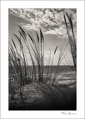 Oyat Collection 2 (fraveneau) Tags: beach océan plage soleil coucherdesoleil nature oyat dune sable paysage gironde aquitaine nb bw noiretblanc blackandwhite blackwhite végétation raveneau landscape