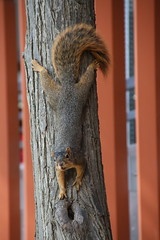 Squirrels in Ann Arbor at the University of Michigan (September 19, 2016) (cseeman) Tags: squirrels annarbor michigan animal campus universityofmichigan umsquirrels09192016 summer eating peanut septemberumsquirrel cavity cavitynest squirrelcavitynest knothole