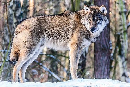 #germany #winter #mecklenburgvorpommern #wolf