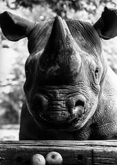 160412_Nashorn001.jpg (ubullerdieck) Tags: schwarz grau apfel frchte sugetiere tiere nashorn weis dortmund zoo