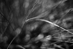 The First Flight Out (belleshaw) Tags: blackandwhite ranchosantaanabotanicgarden grass nature blades sharp points lines plant detail abstract bokeh