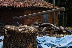 Hacha (Oscar F. Hevia) Tags: hacha hacho lea madera axe firewood timber 2016 priotu prioto astrurias asturies espaa grado grao grau principadodeasturias spain verano