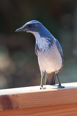 IMG_6365 (armadil) Tags: backyard bird birds jay jays scrubjay scrubjays