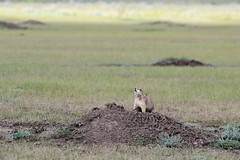 Taking the Air (Jon Christall) Tags: canada summer 2016 roadtrip saskatchewan sk park nationalpark grasslands grasslandsnationalpark prairie prairies animal wildlife prairiedog blacktailedprairiedog mound mounds grass colony
