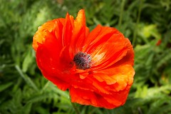 Love is... (candiceshenefelt) Tags: love red peace tranquil serene poppy flora garden flower redflower