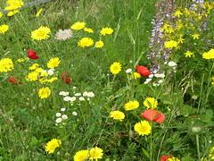 Kindlich will ich treten (amras_de) Tags: blte blume flor cvijet kvet blomst flower floro is lore kukka fleur blth virg blm fiore flos iedas zieds bloem blome kwiat floare ciuri flouer cvet blomma iek wiese