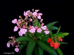 Habenaria rhodocheila (Dylan's Orchids) Tags: habenaria rhodocheila