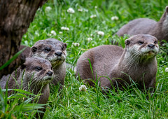 Otters View (Devlin9) Tags: animal escotpark europeanotter nature otter cute furry wildlife mammal watching eyes patient waiting group