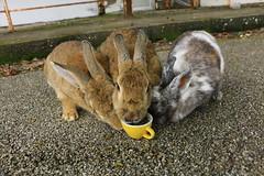 image (Rubia.A) Tags: 大久野島 広島 兎 うさぎ rabbit rabbitisland okunoisland japan hiroshima