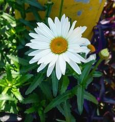 #flowers #nature #field #colors #life (manuelalania) Tags: colors field nature life flowers