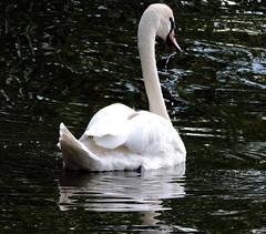 Mute Swan, Cygnus olor (asterisktom) Tags: 2016 trip2016kazakheuro july germany muteswan swan cygnusolor kahl bavaria bayern