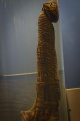 Zebra penis with ticks on it (A Cromwell) Tags: iceland island reykjavik phallus phallologicalmuseum
