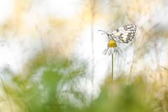 Zen. (SweeP_64) Tags: dd demi deuil papillon butterfly macro proxi nature cyrille masseys 6ril