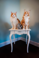 Pip & Finn (Jason _Ogden) Tags: d90 nikon paws corner table pipfinn brothers mainecoon pip eartufts tufts meow flickrfriday white finn mainecoons vr18200mm redheads