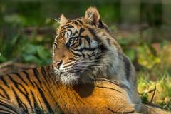Sumatran Tiger (keje2483) Tags: sumatrantiger tiger southlakesanimalpark