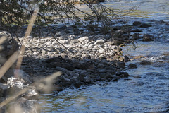"""Harlequin Duck brood on Tower Creek • <a style=""""font-size:0.8em;"""" href=""""http://www.flickr.com/photos/63501323@N07/30161807406/"""" target=""""_blank"""">View on Flickr</a>"""