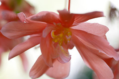 Beguiling Begonia 21 (LongInt57) Tags: begonia flower blossom bloom petals stamens macro pink yellow white nature garden kelowna bc canada okanagan