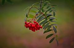 Sorbus  / Pihlaja (L.Lahtinen (with cold symptoms now)) Tags: leaves sorbus pihlaja bokeh nikond3200 nikkor 55300mm dof nature luonto finland suomi branch oksa beauty red green flora kasvit