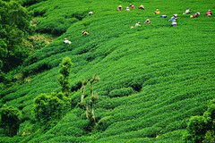 Picking Tea (Singer ) Tags: canon6d tamron28300mmf3563divcpzd tamron a010 1250sec f63 iso100 300mm    pickingtea teaplantation    atmosphere worker story r          composition tree mountain hill green  cultural landscapes nature  taiwan        singer186 singer  canon