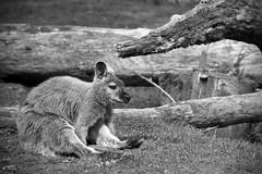 Infinite sadness (Tdyy) Tags: nikon d7200 nikkor 18140 animals wildlife zoo outdoor nature wallaby wallabies nz newzealand christchurch canterbury
