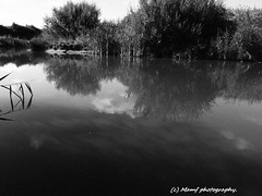 Mono reflection of Aldbrough fishing lake. ((c) MAMF photography..) Tags: aldbrough august aldbroughleisurepark aldbroughcaravanpark britain blackandwhite blackwhite bw biancoenero beauty blancoynegro blanco blancoenero england enblancoynegro eastyorkshire eastcoast flickrcom flickr aldbroughfishinglake google googleimages gb greatbritain greatphotographers greatphoto hull hu11 inbiancoenero image mamfphotography mamf monochrome nikon noiretblanc noir negro north northernengland nature photography photo pretoebranco aquatic summer uk unitedkingdom upnorth water wet yorkshire zwartenwit zwartwit zwart