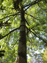 White ash (Fraxinus americana) (Joel Abroad) Tags: sarahpdukegardens durham northcarolina tree whiteash fraxinusamericana