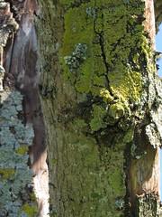 Lichen on tree-2 (Odd Wellies) Tags: sy6988 winterbornefarringdon lichen tree