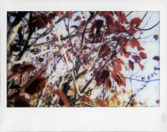Fall Edition ('roid week Fall 2016 - 06) (ale2000) Tags: instax instant instaxwide wide lomoinstantwide lomography roidweek roidweek2016 roidweek2016falledition polaroidweek analog analogue fuji fall autumn autunno foliage foglie giallo arancio arancione orange yellow tree trees branches