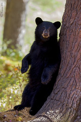 The observer (wandering tattler) Tags: fauna animal wildlife carnivore mammal ursa bear blackbear newhampshire 2016