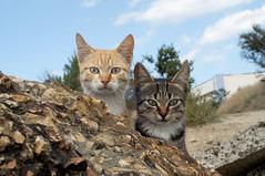 Two of a kind (Valerie Guseva) Tags: cats kittens portrait nature crimea littledoglaughedstories animal planet animalplanet