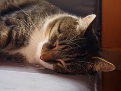 Bastian sleeping (Finn Frode (DK)) Tags: cats sleep rest sofa bastian mixedbreed domesticshorthair olympus e400 animal pet cat indoor