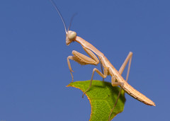 Baby Mantis (nebarnix) Tags: animals insects bugs mantid