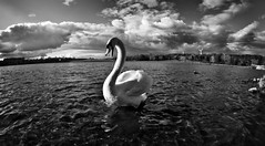 Swan of Hetton Lyons Country Park. (CWhatPhotos) Tags: pictures park camera wild fish eye canon that lens photography eos prime swan pond focus foto view angle image artistic pics country wide picture ducks pic images fisheye have swans photographs photograph fotos 7d fowl manual ponds which mute contain hetton lyons 65mm aspherical opteka primelens fisheyed muteswam cwhatphotos