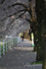 The falling cherry blossoms. (joytrip*) Tags: snow flower japan canon wind bokeh   cherryblossoms      yamagatacity eos7d canonef100mmf28lmacroisusm