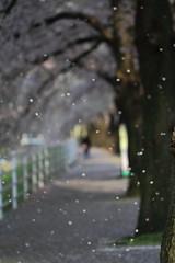 The falling cherry blossoms. (joytrip*) Tags: snow flower japan canon wind bokeh   cherryblossoms      yamagatacity eos7d canonef100mmf28lmacroisusm