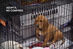 (/ 376) Tags: san retrato no pedro evento perros concurso monterrey mascotas documental compres criollos adopta 376foto