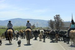 Changing Pastures (dearing116) Tags: horse rural spring highway cowboy cattle country idaho pasture cowgirl