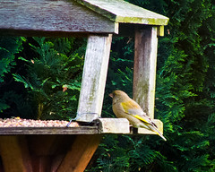 2013 05 17_Greenfinch_0003 (Keith Laverack) Tags: greenfinch 1facebook 1flickr 1keithlaverack 1wilberfoss