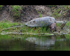 Big Snapping Turtle (poocher7) Tags: ontario nature water dangerous pond bank turtles bite stjacobs snappingturtle bigturtle