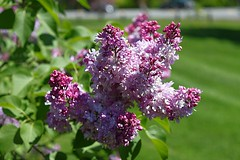 Central Experimental Farm Lilacs 019 (Chrisser) Tags: flowers ontario canada nature garden spring gardening ottawa fourseasons closeups lilacs syringa oleaceae centralexperimentalfarm canonefs1855mmf3556islens canoneosrebelt1i