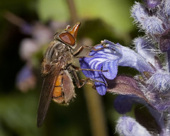 Hoverfly  (Rhingia campestris) (John (Gio) * OVER 100,000 VIEWS *) Tags: nature insect kent wildlife gio hoverfly nbw rhingiacampestris zuikodigitaled50mm120macro